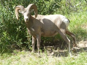Longhorn Sheep